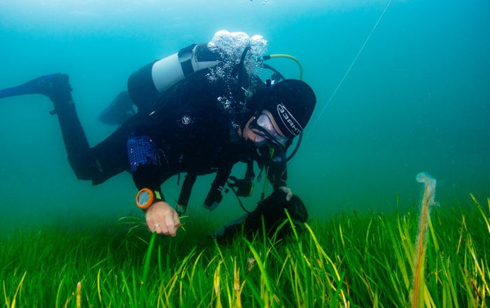 A volunteer diver from Project Seagrass gathering seeds from the seabed in Porthdinllaen, Wales.