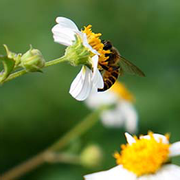 A bee getting nectar from a white and yellow flower